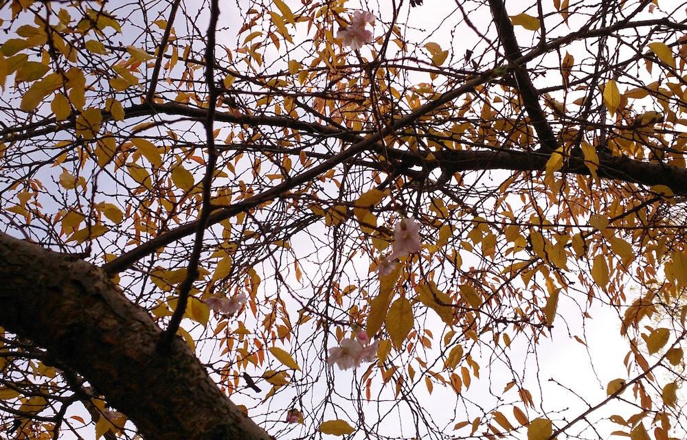 blossom tree at Primary Studios in Nottingham blossoms amongst the autumnal leaves
