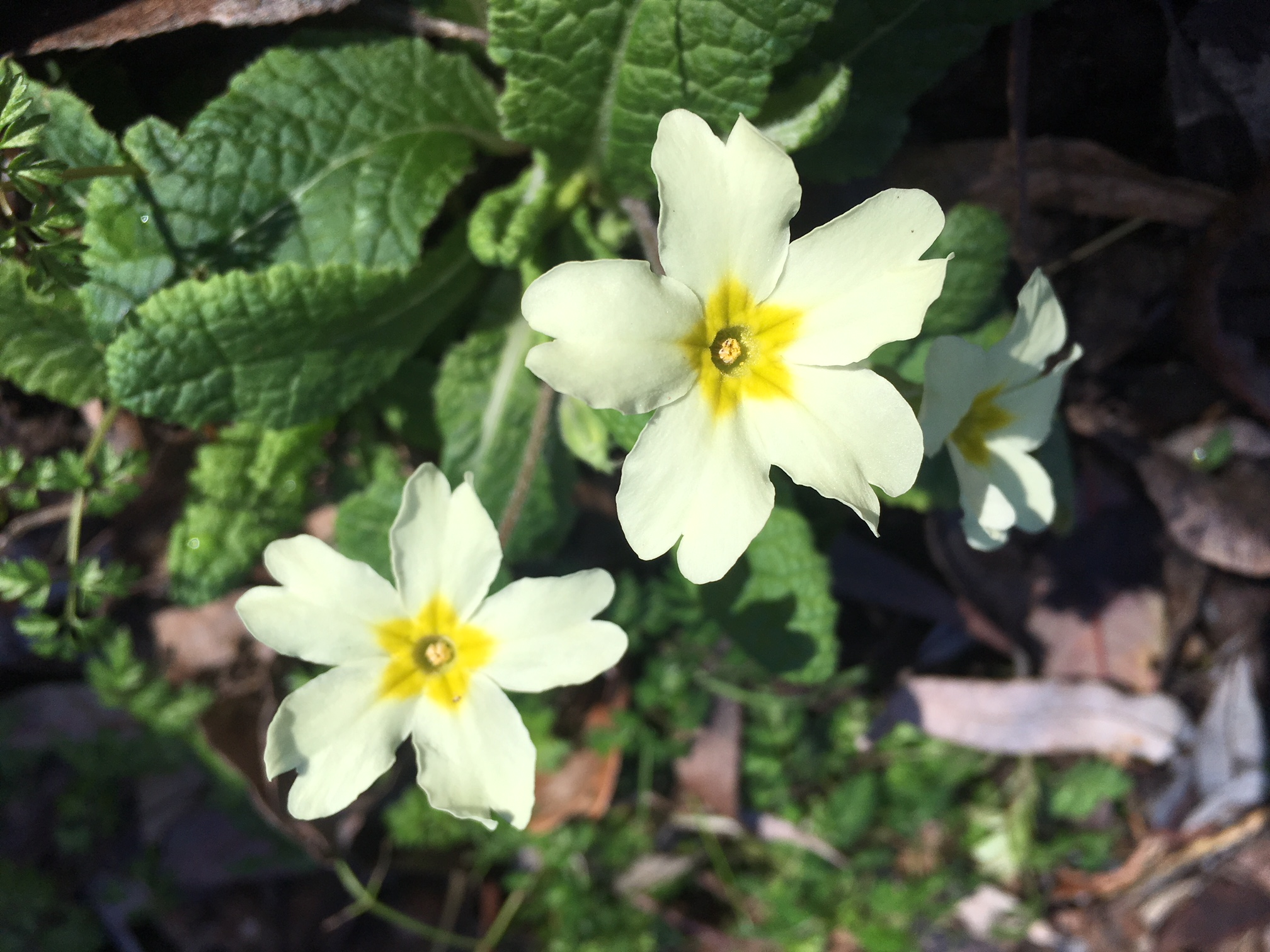 two yellow primroses