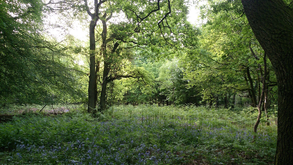 bluebells, grass and trees