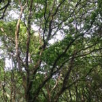 oak trees in the forest