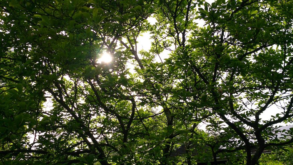 sunlight through the magnolia tree