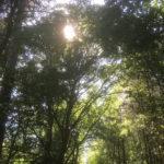 sun through the canopy of trees